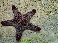 Estrella de mar - Asteroidea