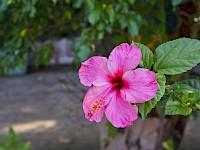 Hibiscus o Flor de Papo Rosada