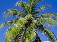 Arecaceae - Palmera