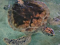 Eretmochelys imbricata - Tortuga Carey