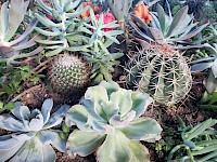 Cactaceae / Cactus